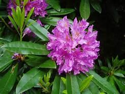 lilla rhodedendron