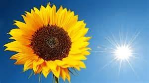 solsikke - sol